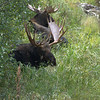 Two bull moose resting near river in Grand Tetons