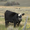 Black cow making faces at me.