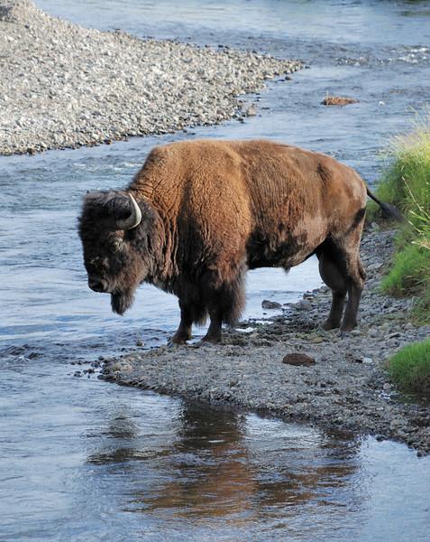 Buffalo, Lamar Valley, Yellowstone