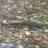 Salmon in the Salmon River.