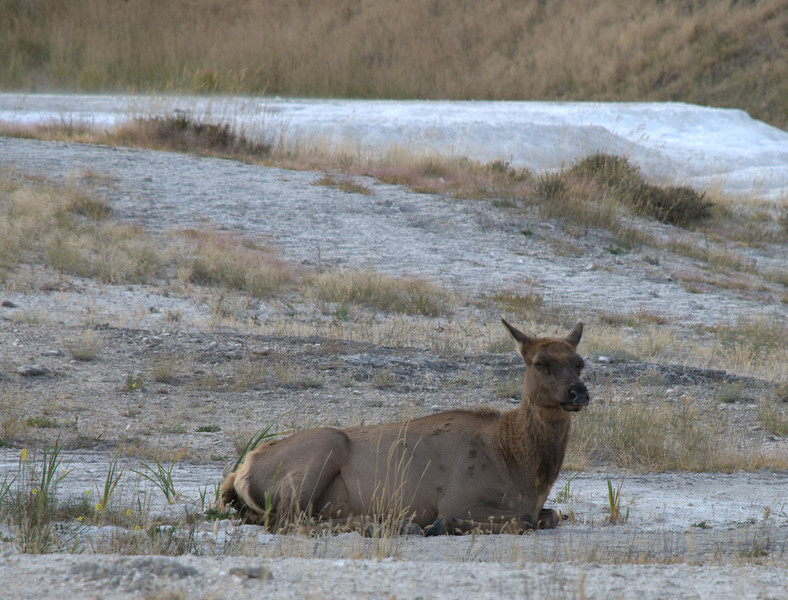 Elk at Mammoth Hot Springs