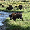 Buffalo, Lamar Valley, Yellowstone
