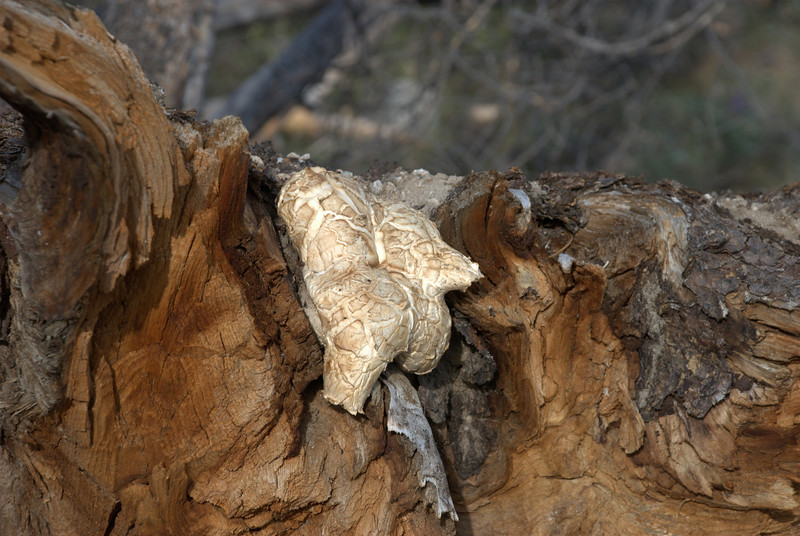 Mushroom on tree at Pettit Lake.