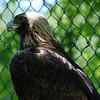 """Spirit"" the Golden Eagle."