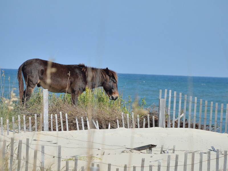This is a donkey that joined the wild mustangs on the beach.