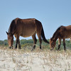 "Corolla's wild Spanish mustangs<br /> <br />  <a href=""http://www.wildhorsesofcorolla.com/"">http://www.wildhorsesofcorolla.com/</a>"