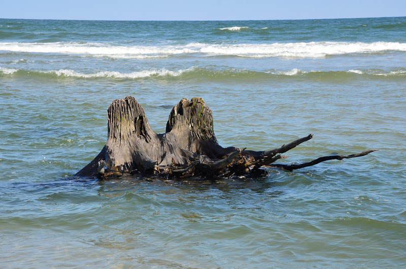 Petrified wood remnants of forest that long ago extended to the beach.