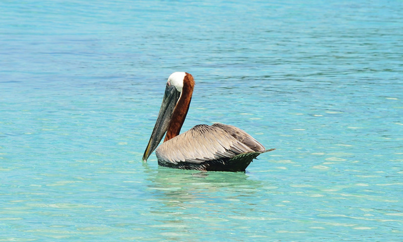 Pelican at Maho Bay.
