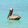 Pelican at Maho Bay.
