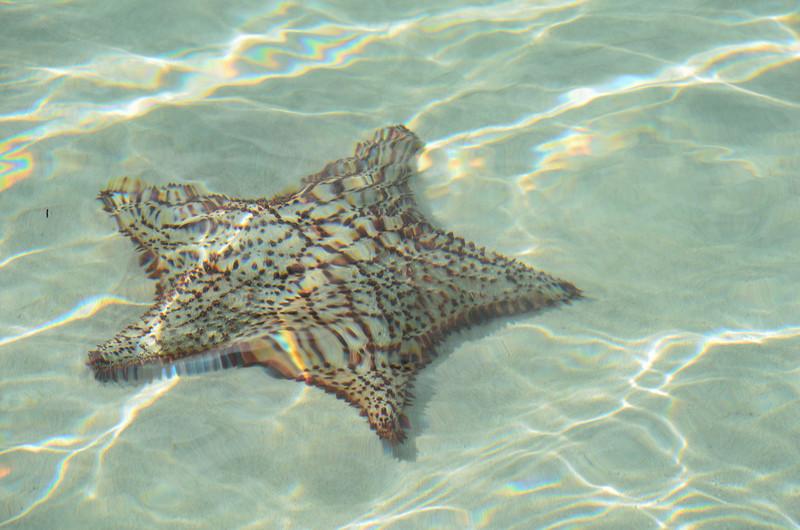 Starfish at Maho Bay.