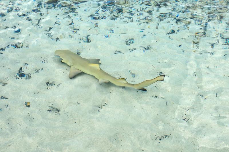 Lemon shark at Maho Bay.