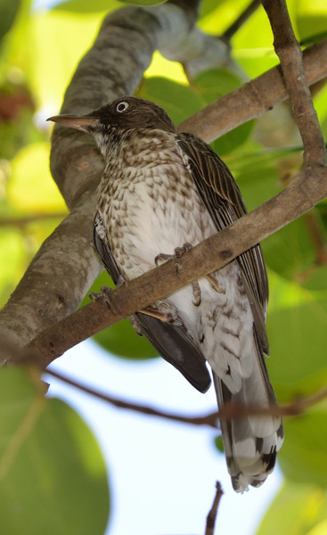 Pearly-eyed Thrasher.  They never shut up.