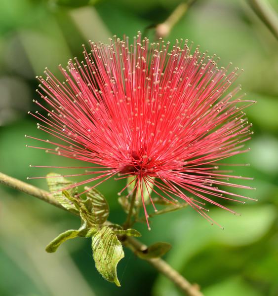Calliandra (Powder Puff) Flower