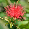 Calliandra (Powder Puff) Flower