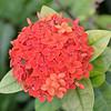 Ixora coccinea  (Jungle Geranium)