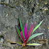 Oyster Plant growing in a wall.