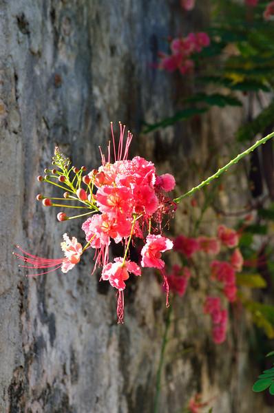 Caesalpinia pulcherrima (Poinciana, Pride of Barbados)