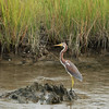 Tricolored Heron (Immature), aka Louisiana Heron