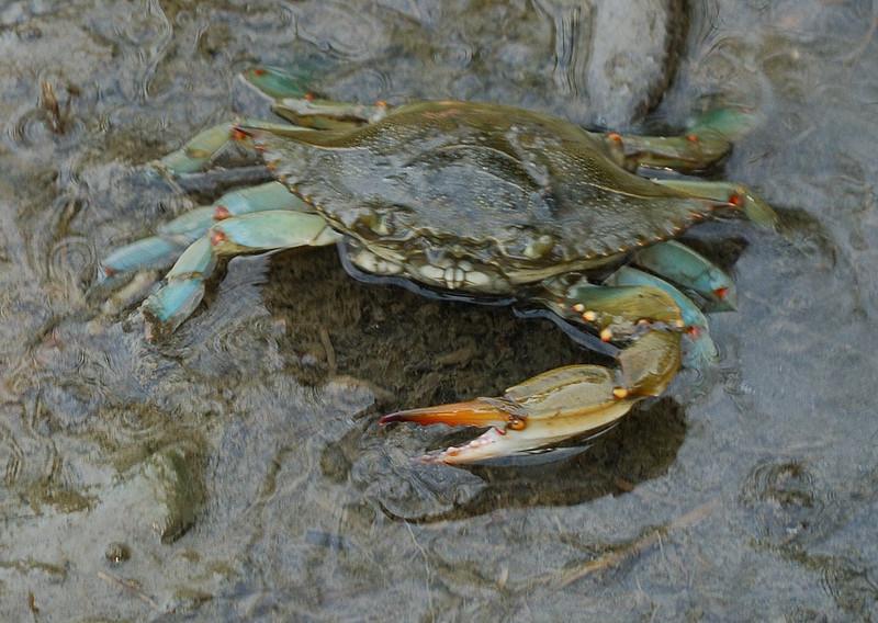 Blue Crab, missing claw