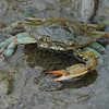 Blue Crab, missing claw