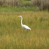 Egret in the Marsh