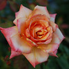 Rose at the B&B
