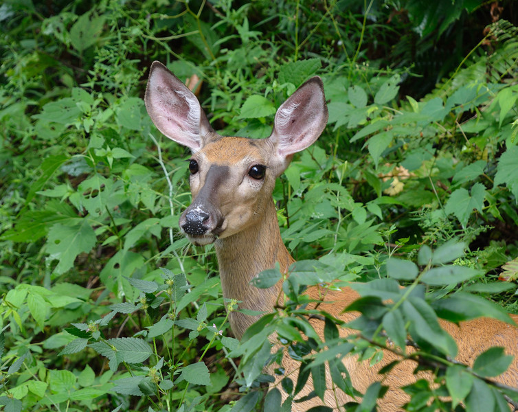 Whitetail deer on Pine Creek Rail Trail
