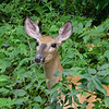 Whitetail deer on Pine Creek Rail Trail