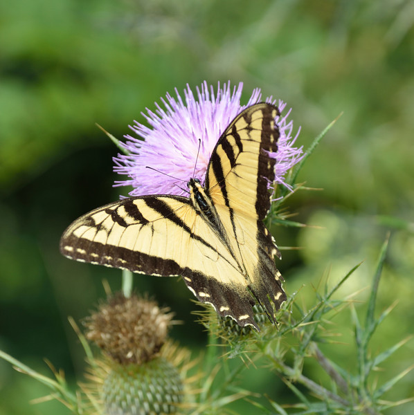 Many butterflies were enjoying the thistle.  <br /> Highland Scenic Highway through the Monongahela National Forest.