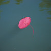 Lily Pad - Boley Lake