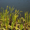 Grasses at Boley Lake