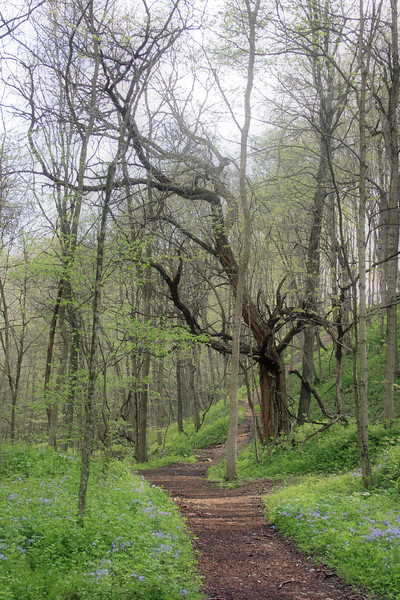 "The ""ancient"" apple tree used to help identify the site of a former grist mill along Cedar Creek. Seen here just to the right of the trail, it can be reached by bearing right after crossing the second suspension bridge on the gorge trail. In that case you'll see the tree just to the left of the path."