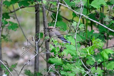 Cedar Waxwing, Mason, NH (_DJM0435cl djm)