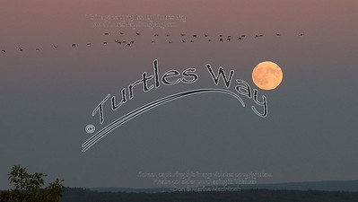 Geese Over Super Moon Rising