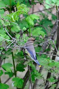 Cedar Waxwing, Mason, NH (_DJM0422cel djm)