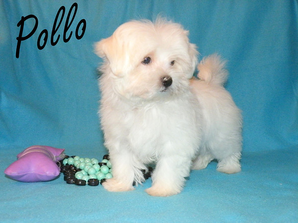 Pollo<br /> Gender:Male<br /> <br /> Breed: Maltese<br /> Hes in Loving arms this Christmas!