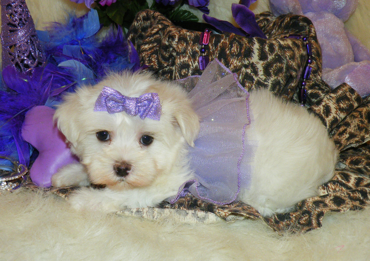 Sugar<br /> <br /> Gender: Female<br /> Birthday: 5-10-13<br /> <br /> Little Sugar's fur is blowing in the wind in the windy city, Chicago!