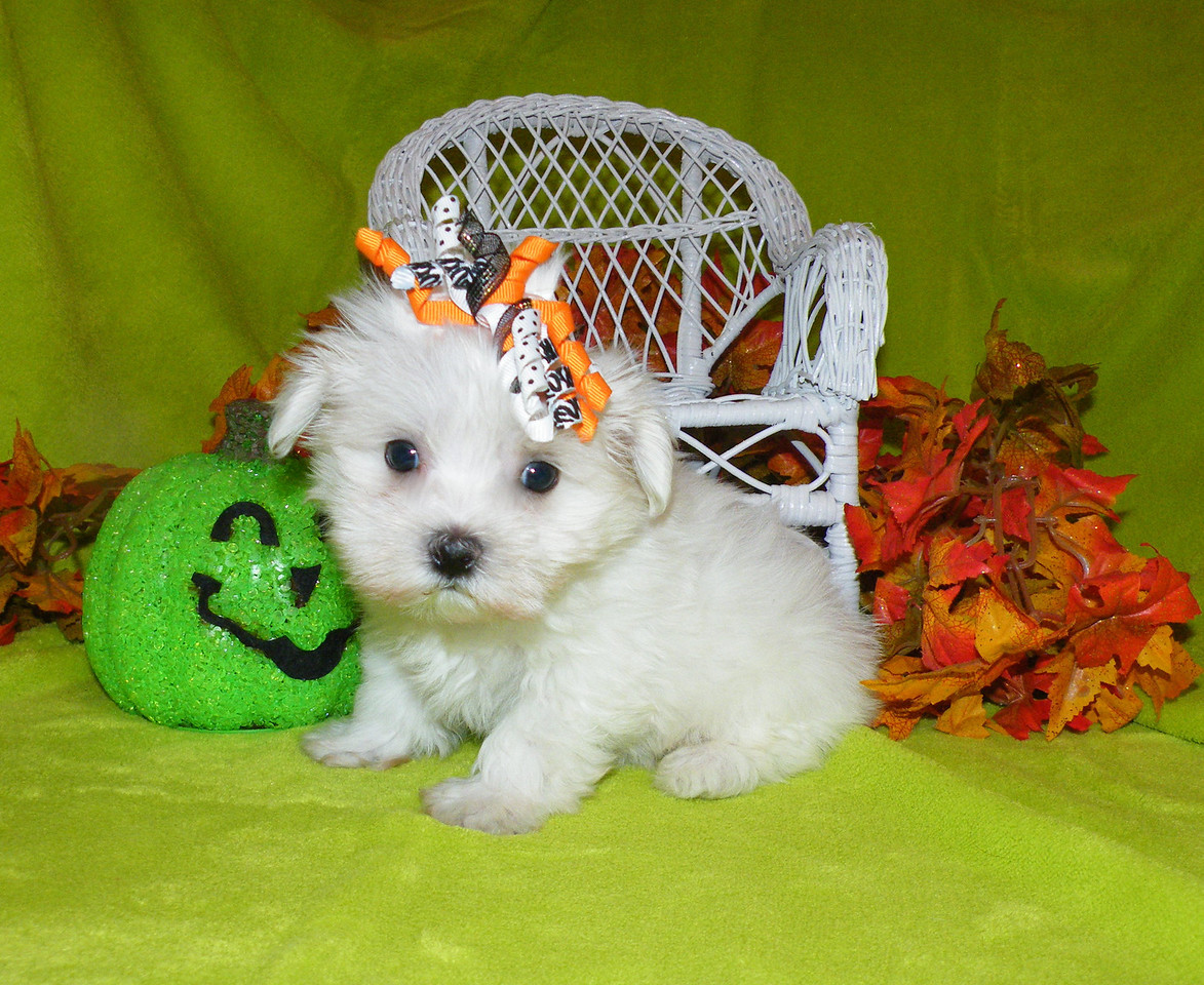 Ralphie<br />  <br /> Mother(Miss Lucy) Father(Magnum)<br /> Breed: Maltese<br /> <br /> Ralphies new name is Blake, and he is being spoiled rotten with his new family!<br />  <br /> Gender:Male<br />  Birhtday: 09-04-2012