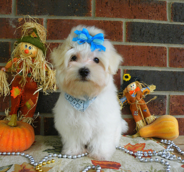 Teddy<br /> <br />  Mother(Smiley) Father(Magnum)<br />  Breed: Maltese<br /> <br /> Teddy is under the Christmas tree ready to surprise his new family!<br /> <br /> Gender:Male<br />  Birhtday: 8-29-12
