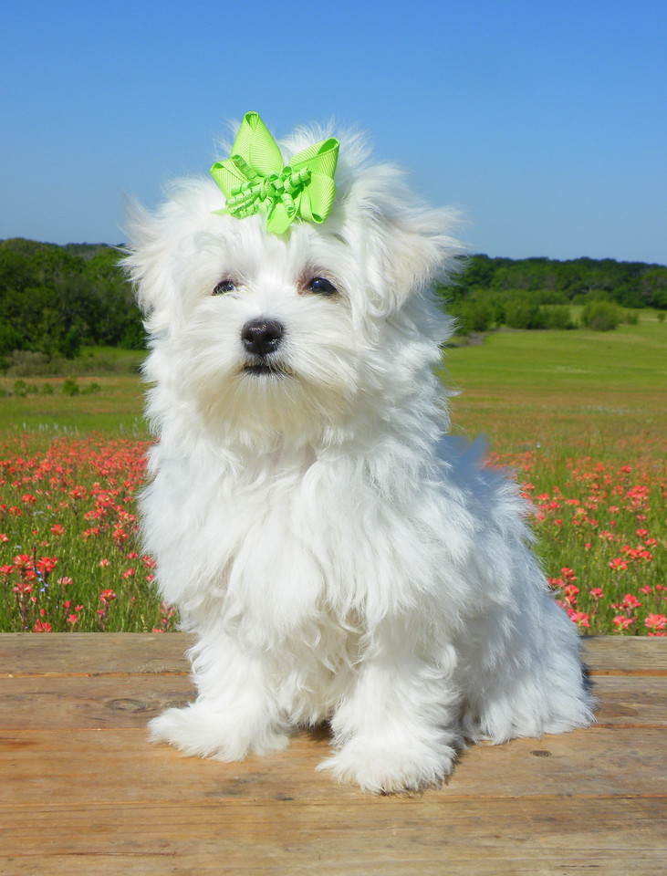 Breezy<br /> <br />  Gender: Female<br />  Birthday: 1-29-13<br />  <br /> We've adopted Breezy into our family for our breeding program!