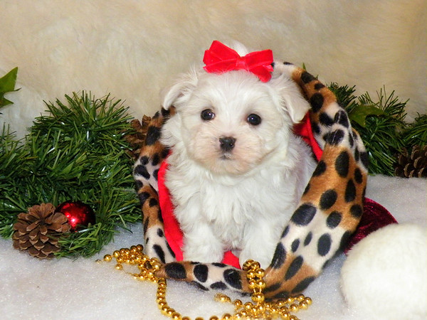 Queenie<br /> <br /> Breed: Maltese<br /> Mother(Candy) Father(Uno)<br /> Gender:Female<br />  <br /> Living with her new family in Texas!