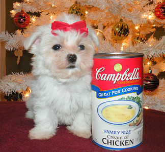 Lou Lou <br /> Female Maltese<br /> Mother (Charolette) <br /> Daddy (Uno) <br /> Going to have a Merry Christmas !