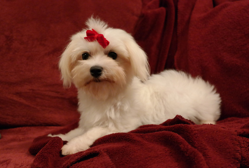 Candy<br /> <br /> Gender: Female<br /> Birthday: 5-10-13<br /> <br /> Candy has been adopted into our breeding program! We are thrilled to have this sweetheart in our family.