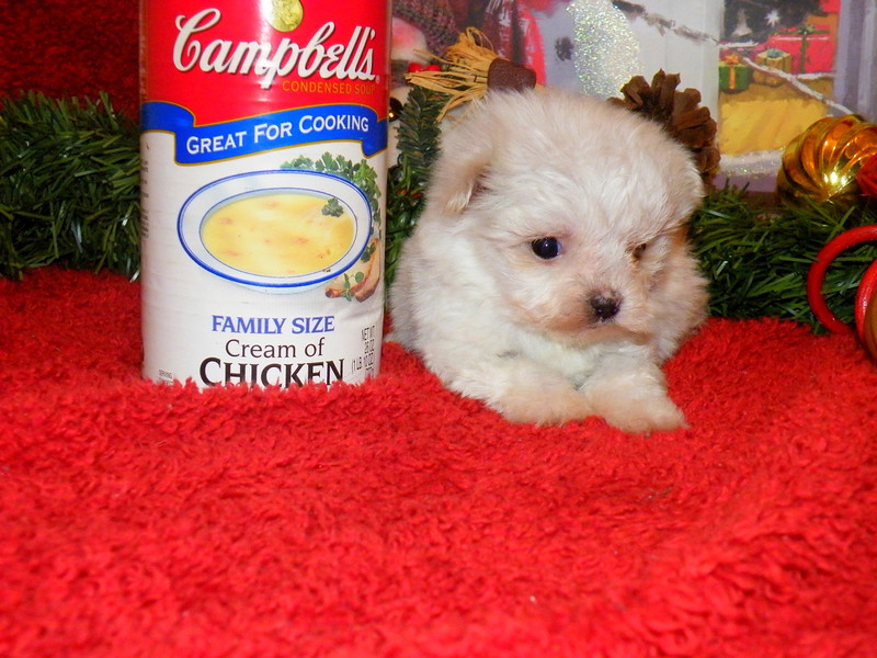 Jack Frost <br /> <br /> Breed: Maltese<br /> Mother (Shaggie) Father(Uno)<br /> Gender: Male<br /> Birthday:11-8-11
