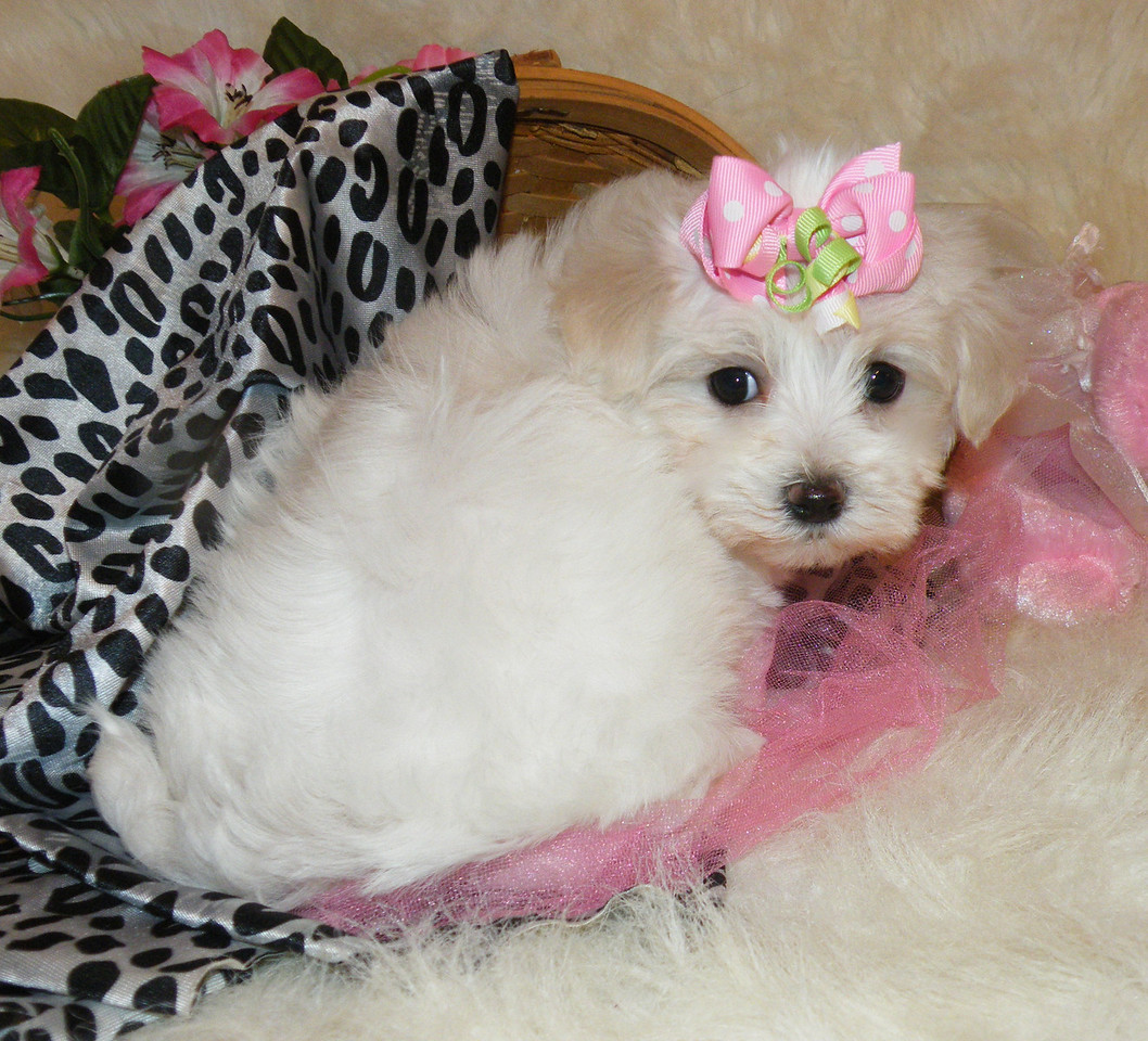 Sophie (Fancy)<br /> <br /> Gender: Female<br /> Birthday: 12-8-13<br /> <br /> Sophie's new name is Fancy, she was a valentines day gift for one lucky little girl.