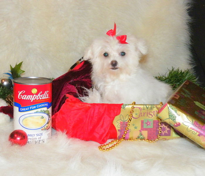 Prissey <br /> <br /> Mother(Bebe) Father (Uno)<br /> Breed: Maltese<br /> Gender: Famale<br /> Birthday:8-26-11
