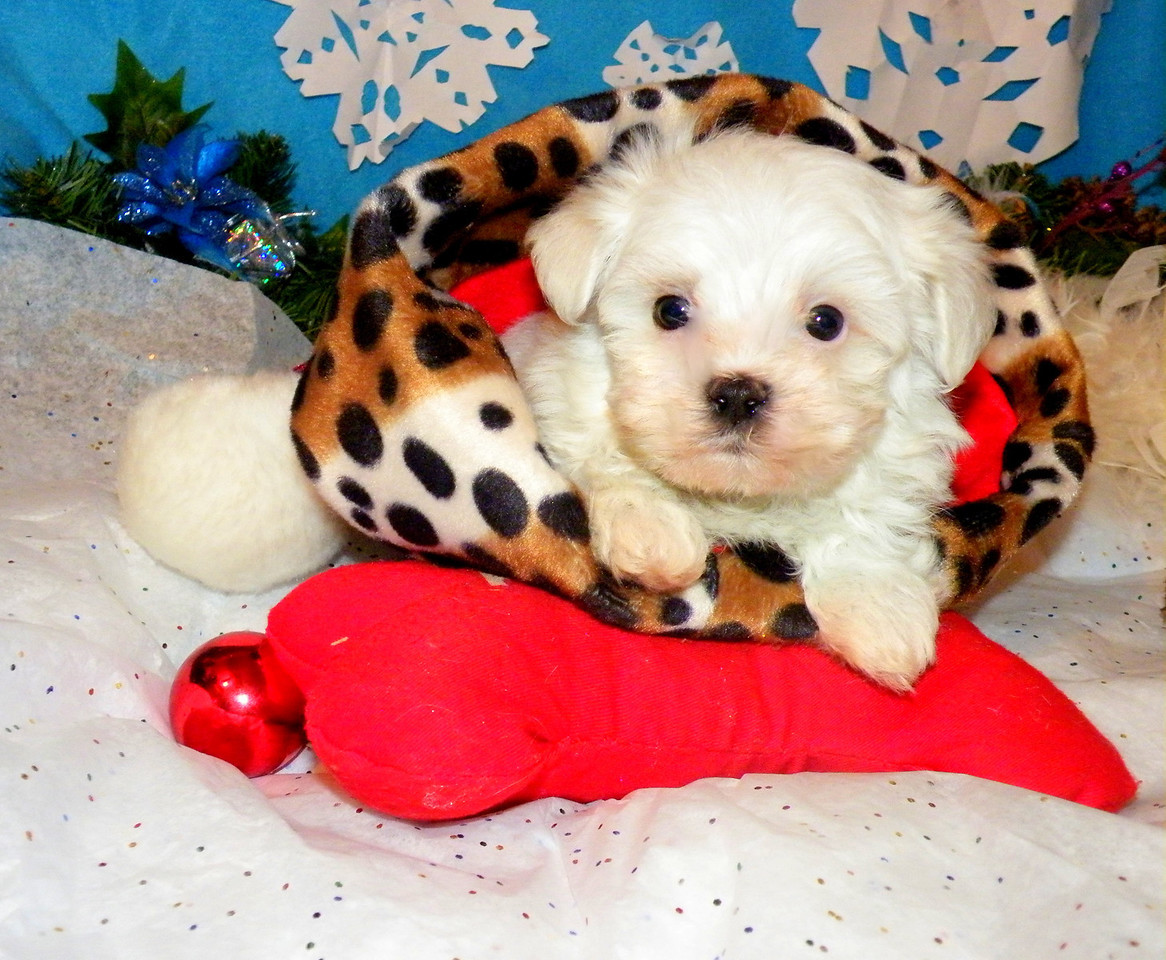 Polar Bear<br /> <br /> Breed: Maltese<br /> Mother(Candy) Father(Uno)<br /> Gender:Male<br /> Birthday: 10-7-11