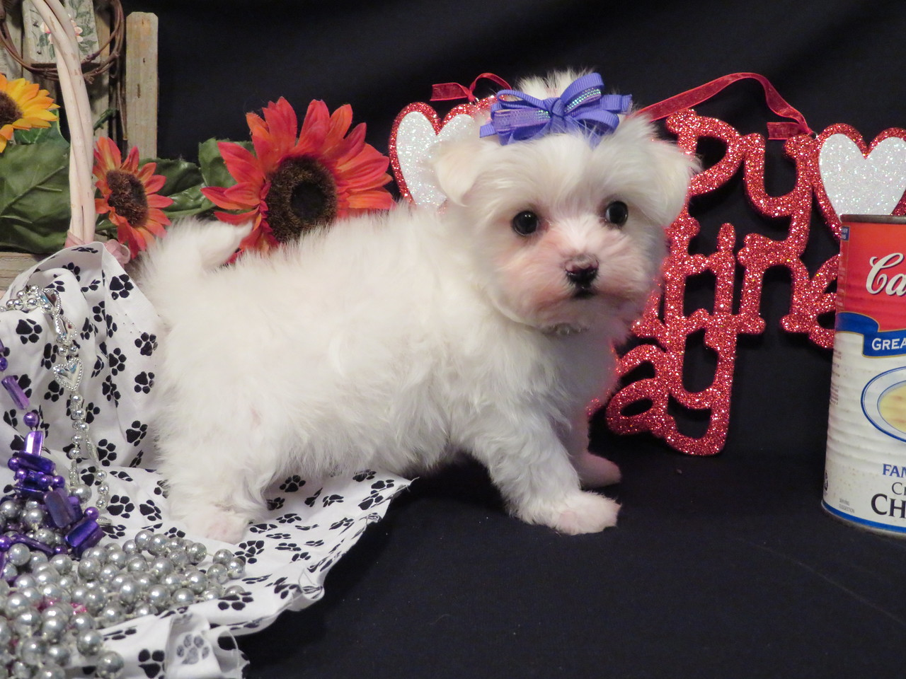 ** Lil Star **   Available   $ 1995.00