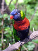 Rainbow Lorikeet from Australia.