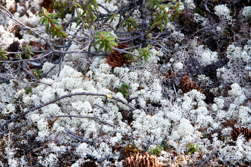 Caribou moss, it looks and feels like coral. The caribou love this stuff... caribou candy.